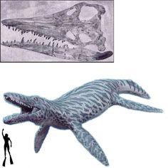 El Brachauchenius fue un enorme y temible reptil marino, perteneciente a la orden de los plesiosaurios. Medía 12 metros de embergadura. Vivió en el período cretácico. Su cráneo medía 1,53 metros de longitud. Longitud: 12 metros Encontrado en aguas marinas de Norteamérica