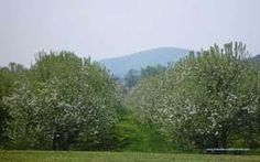 Apple Blossoms nature Wallpaper