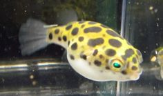 Leopard-Puffer-Live-Freshwater-Aquarium-Fish