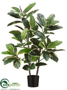 Rubber Leaf Plant - Variegated - Pack of 2