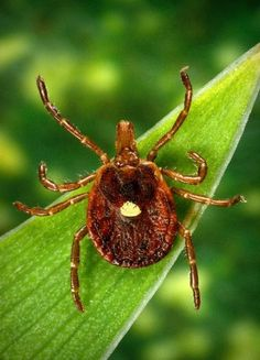 This undated photo provided by the Centers for Disease Control and Prevention shows a Lone Star tick. Doctors across the nation are seeing a surge of sudden red-meat allergies in people bitten by the tick. (AP Photo/Centers for Disease Control and Prevention, James Gathany)