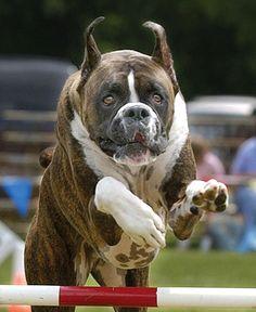 #Boxer athlete