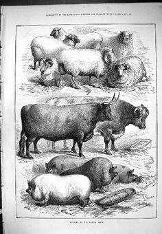 Antique Print Cattle Show Winners Sheep Cows Animals Pigs 1876 Moore Original old antique victorian print,http://www.amazon.com/dp/B00E5ZI59Y/ref=cm_sw_r_pi_dp_wrtHtb1FSN3EJYBZ