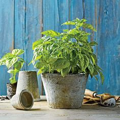 Plant a Basil Herb Garden | Flavor your summer meals with the season's best herb. | SouthernLiving.com plant, herb garden, season, summer meals, seed, herbs garden, basil herb