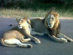 Lion in Kruger Park