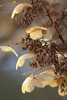 """green-home: """" Richard Loader: Dead hydrangea flower heads. In the January afternoon sun these dried out dead heads took on a new lease of life """""""