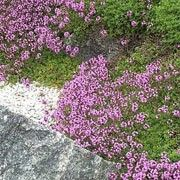 Thymus Coccineus Group (Thyme Coccineus Group) Get care advice to your inbox every month - add this plant to your personal list. Gravel Garden, Garden Plants, Red Creeping Thyme, Chelsea 2016, Chelsea Flower Show, Outdoor Decor, Nature, Flowers, Advice