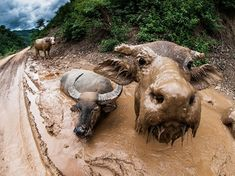 Picture of water buffalo in mud- Earth - Nature - wildlife - animals