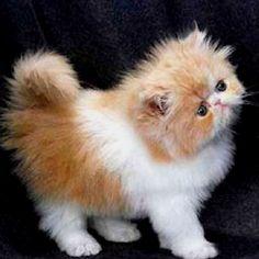 Persian kitten - red & white