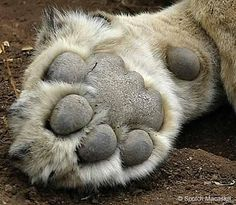 A lion's paw is equipped with soft pads to make its movements quiet. This is especially helpful when it is sneaking up on its prey.