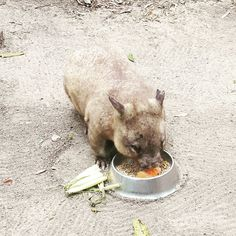 I'm bringing you home!  #currumbinwildlifesanctuary #goldcoast #australia #wombat by aliceagren http://ift.tt/1X9mXhV
