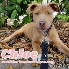 Meet Chloe, an adoptable Doberman Pinscher looking for a forever home. If you're looking for a new pet to adopt or want information on how to get involved with adoptable pets, Petfinder.com is a great resource.