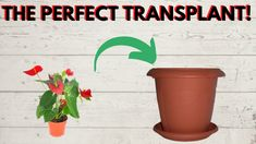 The easiest and most perfect transplant. The roots are not hurt at all, the plant is placed exactly where you want (in the center) and is ideal to make a composition with many plants in one pot. When you find out, you will never transplant again with another way! One Pot, Roots, It Hurts, Planter Pots, Composition, Gardening, Stew, Lawn And Garden, Being A Writer