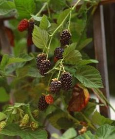 Boysenberry should bear large sized, nutritious fruits in high quantities. With the development of thornless boysenberry cultivar, large-scale plantation of this fruit vine becomes easier for fruit growers all across the globe. Blackberry Bush, Blackberry Trellis, Blackberry Plants, Blackberry Ideas, Thornless Blackberries, Growing Blackberries, Container Gardening, Gardening Tips, Edible Garden