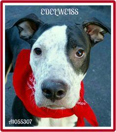 EDELWEISS. ~A1055307~ 4 YEARS. MALE. URGENT MANHATTAN. Please Share/Adopt/Foster. http://nycdogs.urgentpodr.org/edelweiss-a1055307/