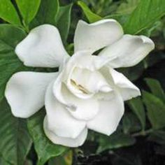 jasmine jasminum polyanthum grown as a house plant offers unparalleled fragrance these exotic