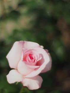 'Flamingo' | Hybrid Tea Rose. Reimer Kordes,1979  | Flickr - © Polotaro