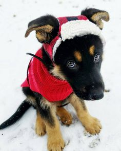 I don't think this sweet German shepherd puppy is to happy with this Santa outfit