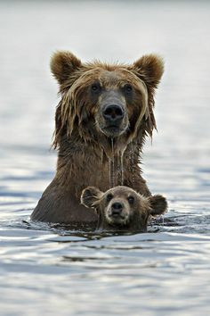 Grizzly in deep water
