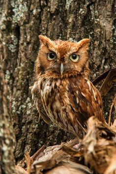 Screech-owls are typical owls Screech-owls hunt from ...