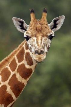 266033-closeup-of-a-giraffe-head-staring-at-camera.jpg 801×1,200 pixels