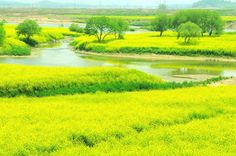 Yuchae flowers are in full bloom along the Yeongsan River in Naju, Korea