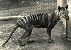 The last Tasmanian Tiger (Thylacine) died in 1936 - though people continue to claim sightings of them