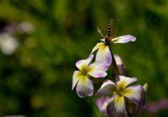 Nieuw in mijn Werk aan de Muur shop: Lente, zweefvlieg op bloem