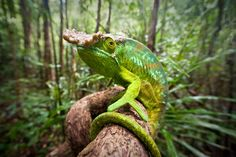A male parson's chameleon (Calumma parsonii) is pictured in rainforest understorey, Masoala National Park, Madagascar