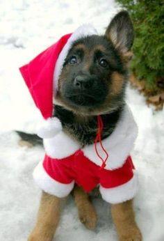 German Shepherd puppy, ready for Christmas!