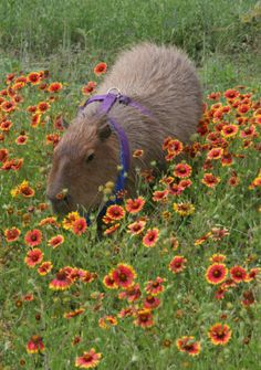 Gary the capybara, who lived large and in charge with his devoted hoomins and many furry friends in Texas and the beautiful wildflowers.