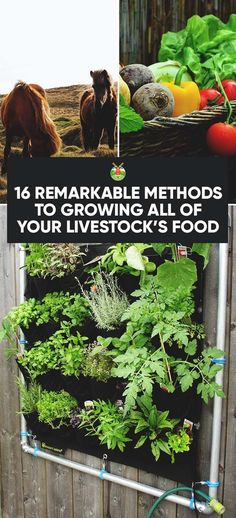 How To Urban Garden 16 Ways to Grow All of Your Livestock's Food and Save Even More Money - If you operate on a shoestring budget, we show you how to grow all your livestock food and be self-sufficient and budget-friendly at the same time. Raising Ducks, Raising Goats, Raising Chickens, Homestead Gardens, Farm Gardens, Goat Care, Diy Chicken Coop, Chicken Feed, Goat Farming