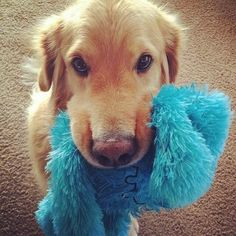I brought you a gift so you can play with me. | Community Post: 61 Times Golden Retrievers Were So Adorable You Wanted To Cry