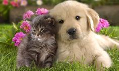 Shop Golden Retriever Puppy Dog & Kitten Love Card created by alwaysdogs. Personalize it with photos & text or purchase as is! Kittens Cutest Baby, Cute Kittens, Cats And Kittens, Kittens Meowing, Cute Animal Videos, Cute Animal Pictures, Puppy Pictures, Dog Photos, Puppy Pics