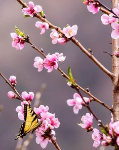 Apricot Blossom, Cherry Blossom, Spring Tree, Winter Night, Lebanon, Preserves, Butterfly, Cold, Plants