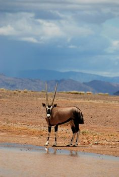 Gemsbok - blue skies over the desert