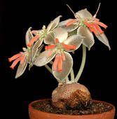 Sinningia leucotricha Hoehne 1956. Syn. Rechsteineria leucotricha (Cardinal flower, Brazillian Edelweiss)