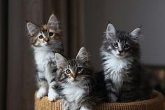 Norwegian forest kittens http://1.bp.blogspot.com/_LlfXWxcpJyU/TFuaCSRutXI/AAAAAAAAhVE/7avX52IawXI/s1600/norwegian-forest-cat-kittens.jpg