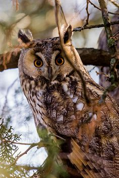 """A wise old owl sat on an oak; the more he saw the less he spoke; the less he spoke the more he heard; Beautiful Owl, Animals Beautiful, Cute Animals, Owl Bird, Pet Birds, Owl Species, Reptiles, Long Eared Owl, Owl Photos"
