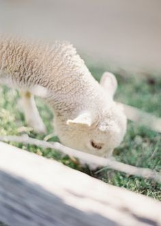 baby lamb so cute Country Farm, Country Roads, Country Living, Farm Animals, Cute Animals, Laura Gordon, Baby Lamb, Little Bo Peep, Sheep And Lamb