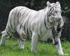 Google Image Result for http://verybadfrog.com/wp-content/uploads/2010/08/White-tigers-5.jpg