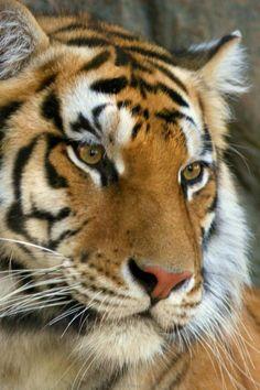 Animal Bengal Tiger | Iphone Animal Bengal Animal Background