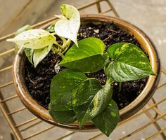 Do you have a Pothos vine? Check out this post on Pothos Vine Care and learn about light requirements, water requirements, and overall Pothos care tips! Plante Pothos, Plante Monstera, Pothos Vine, Pothos Plant, Hanging Plants, Indoor Plants, Patio Plants, Organic Gardening, Gardening Tips