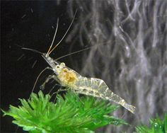 Fresh water Ghost Shrimp, Paleomonetes sp. Species Profile, Care Instructions, Feeding and more. :: Aquarium Domain.com