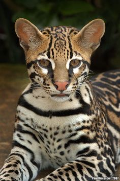 Ocelot byPaul Bratescu. The ocelot's genus Leopardus consists of nine species similar to the ocelot, such as Geoffroy's cat and the margay, which are also endemic to South and Central America. All of the cats in Leopardus are spotted, lithe, and