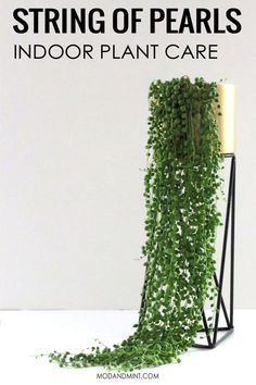How to Care for and Propagate your String of Pearls Plant - Senecio rowleyanus A hanging plant that gives you Strings of Pearls! All you need to know to care for and propagate an indoor String of Pearls plant. Garden Cactus, Planting Succulents, Cactus Plants, Garden Plants, Indoor Plants, Planting Flowers, Succulent Plants, Indoor Gardening, Indoor Succulents