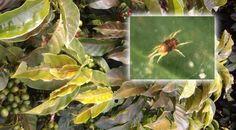 Detectan severos ataques de arañita roja en cafetales del sur del Huila