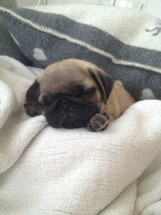 Sleepy lil pug puppy