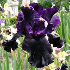 1000 images about plantes du jardin on pinterest for Entretien iris jardin