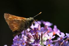30% OFF SALE Nectar Stop - Small Skipper Butterfly, Fine Art Wildlife Photography, Giclee Print - British Wildlife Prints